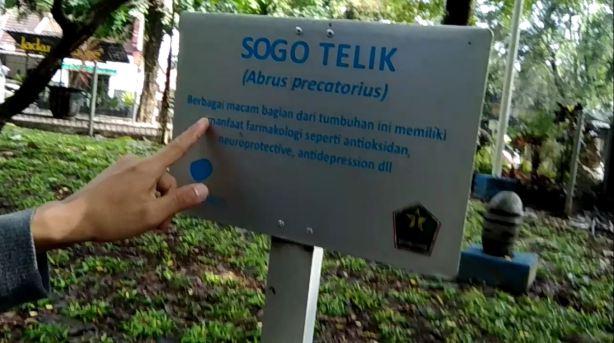 Baru tahu ada pohon sogo telik